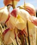 Fiore del Yucca Immagine Stock