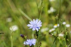 Fiore delicatamente blu della cicoria comune Immagini Stock Libere da Diritti