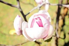 Fiore delicato della magnolia con i petali rosa Fotografia Stock