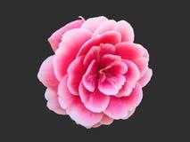 Fiore delicato delle rose Fotografie Stock