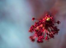Fiore dell'acero fotografie stock