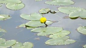 Fiore dell'acqua Fotografie Stock Libere da Diritti