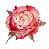 Fiore dell'acquerello Rosa Fotografia Stock