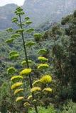 Fiore dell'agave Immagine Stock