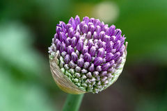 Fiore dell'aglio Fotografie Stock