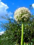 Fiore dell'aglio Fotografia Stock