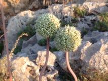 Fiore dell'aglio Immagini Stock