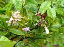 Fiore dell'agrume Fotografie Stock Libere da Diritti