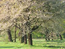 Fiore dell'albero Fotografia Stock Libera da Diritti
