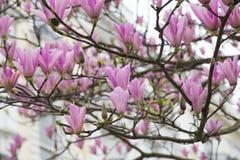 Fiore dell'albero della magnolia Immagine Stock Libera da Diritti