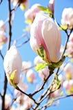 Fiore dell'albero della magnolia contro il cielo blu Immagine Stock