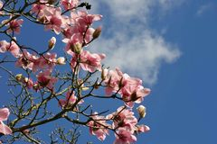 Fiore dell'albero della magnolia, Londra fotografia stock