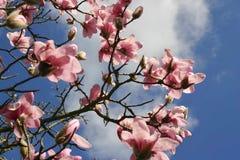 Fiore dell'albero della magnolia, Londra immagini stock libere da diritti