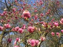 Fiore dell'albero della magnolia, Londra Mazzo, fondo fotografia stock
