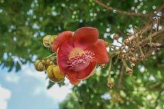 Fiore dell'albero della palla di cannone Fotografia Stock