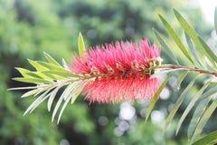 Fiore dell'albero della spazzola di bottiglia Fotografia Stock