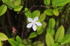Fiore dell'albero di agrume fotografia stock libera da diritti
