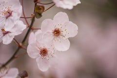 Fiore dell'albero di ciliegia susina Immagini Stock