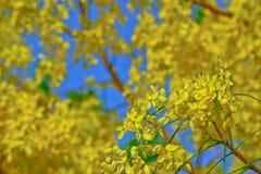 Fiore dell'albero di doccia dorata con cielo blu Fotografia Stock Libera da Diritti
