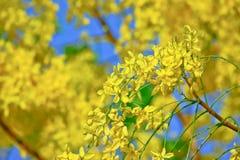 Fiore dell'albero di doccia dorata con cielo blu Fotografie Stock Libere da Diritti