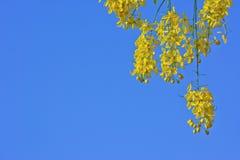 Fiore dell'albero di doccia dorata con il fondo del cielo blu Fotografia Stock
