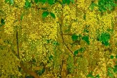 Fiore dell'albero di doccia dorata nel giorno di estate Fotografia Stock Libera da Diritti