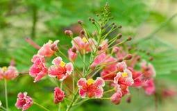 Fiore dell'albero di fiamma Fotografie Stock