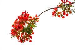 Fiore dell'albero di fiamma di pulcherrima di Caesalpinia fotografie stock libere da diritti
