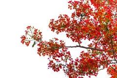 Fiore dell'albero di fiamma di pulcherrima di Caesalpinia, isolato Fotografie Stock