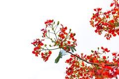 Fiore dell'albero di fiamma di pulcherrima di Caesalpinia, isolato Fotografia Stock Libera da Diritti