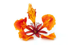 Fiore dell'albero di fiamma isolato Fotografia Stock Libera da Diritti