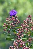 Fiore dell'albero di gloria, nel legno Fotografia Stock Libera da Diritti