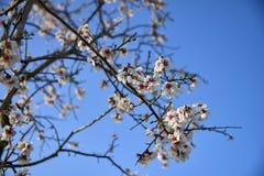 Fiore dell'albero di mandorle, primavera in frutteto, fondo della natura con skyÑŽ blu Immagini Stock Libere da Diritti