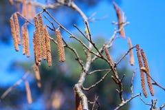 Fiore dell'albero di nocciola contro il cielo blu immagine stock libera da diritti