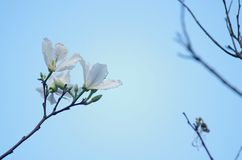 Fiore dell'albero di orchidea Fotografia Stock Libera da Diritti