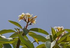 Fiore dell'albero di plumeria Fotografie Stock