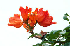 Fiore dell'albero di tulipano immagine stock libera da diritti