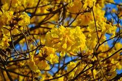 Fiore dell'albero goled primo piano (pui giallo) Fotografia Stock