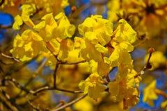 Fiore dell'albero goled primo piano (pui giallo) Immagini Stock