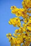 Fiore dell'albero goled primo piano (pui giallo) Immagine Stock Libera da Diritti