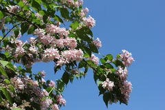 Fiore dell'albero in Sommer Immagine Stock