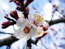 Fiore dell'albicocca Immagini Stock Libere da Diritti