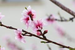 Fiore dell'albicocca Fotografie Stock
