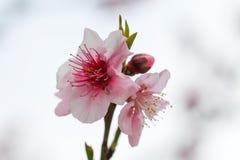 Fiore dell'albicocca Fotografie Stock Libere da Diritti