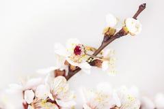 Fiore dell'albicocca Fotografia Stock