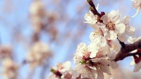Fiore dell'albicocca closeup Fiori dell'albicocca sul ramo dell'albero di albicocca stock footage