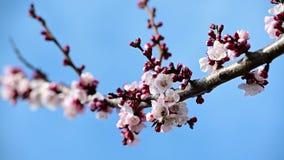 Fiore dell'albicocca del polinate dell'ape del miele in video in anticipo della molla archivi video