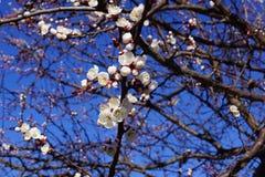 Fiore dell'albicocca in Ucraina immagine stock