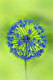Fiore dell'allium Fotografia Stock Libera da Diritti