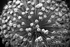 Fiore dell'allium - 4 Immagine Stock